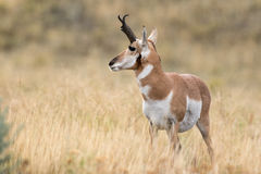 Pronghorn Sheep Royalty Free Stock Photo