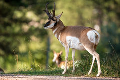 Pronghorn Sheep Royalty Free Stock Photos