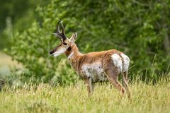 Pronghorn Sheep in Wyoming. Pronghorn Sheep, grazing on grass in a Wyoming meadow in summer stock images