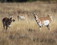 Pronghorn sisters. Pronghorn keeping an eye on the photographer Grand Teton National Park, Wyoming, USA stock image