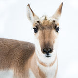 Pronghorn in Snow Stock Images