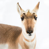 Pronghorn in Snow Stock Photography