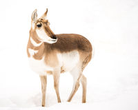 Pronghorn in Snow IV Royalty Free Stock Images