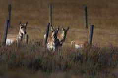 Pronghorn starren unten an Lizenzfreies Stockfoto