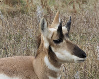 Pronghorn in the tall grass. Pronghorn Antelope laying down in the tall prairie grass Stock Photography