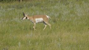Pronghorn stock footage