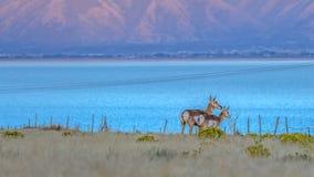 Pronghorn on a wildlife habitat near Utah Lake stock photography