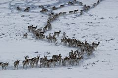 Pronghorn in Winter Wyoming-Colorado Border. Pronghorn Antilocapra americana migrating through the snow along the Wyoming - Colorado border Stock Photos