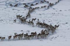 Pronghorn in Winter-Wyoming-Colorado-Grenze Stockfotos