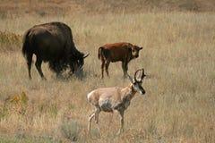 Pronghorn y bisonte Imágenes de archivo libres de regalías