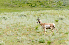 Pronghorn in Yellowstone fotografie stock