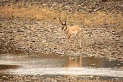 Pronghorn in Yellowstone National Park. Pronghorn buck in Yellowstone National Park Stock Photos