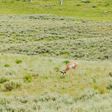 Pronghorn in Yellowstone Royalty Free Stock Photo