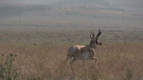 Pronghornantilope Buck Running stock video