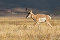 Pronghornantilope Buck Walking stock afbeeldingen
