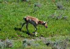 Pronghornantilope - Idaho Royalty-vrije Stock Afbeeldingen
