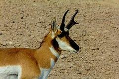 Pronghornbok stock afbeelding