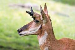 Pronghornprofiel Royalty-vrije Stock Afbeelding