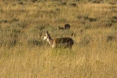 2 pronghorns, поздним летом, пася в Jackson Hole, Вайоминг Стоковые Изображения