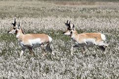 pronghorns Foto de Stock