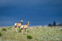 Pronghorns gêmeo contra céus tormentosos Fotos de Stock