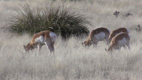 Pronghorns Grazing on the Prairie stock video