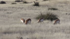 Pronghorns Grazing stock video