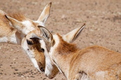 Pronghorns jumeau Photos libres de droits