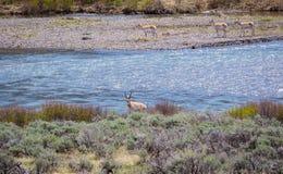 Pronghorns por el río Imagen de archivo