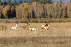 Pronghorns in Rut Royalty Free Stock Images