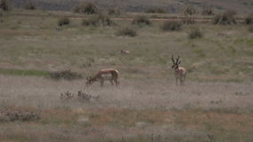 Pronghorns in Rut. A pronghorn buck with does during the rut stock footage