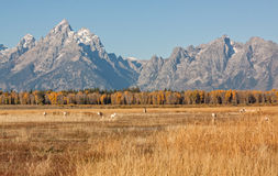 Pronghorns in Scenic Fall Landscape Royalty Free Stock Image