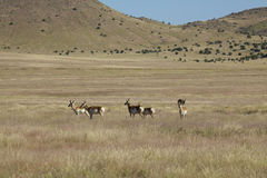 Pronghorns Standing on the Prairie Stock Photography
