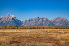 Pronghorns in the Tetons in Fall Stock Image