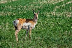 Pronhorn antilop som betar i fält i Saskatchewan, Kanada royaltyfri foto