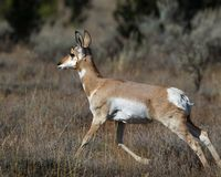 Pronnghorn female mid-stride. Pronghorn female caught mid-stride in the tall meadow grass Grand Teton National Park, Wyoming, USA stock photography