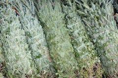 Pronto imballato degli alberi di Natale per la vendita Fotografie Stock