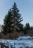 Pronto para ser árbol de navidad Imagen de archivo libre de regalías