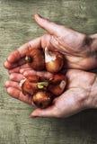 Pronto per la piantatura delle piante di lampadine della molla Immagine Stock Libera da Diritti