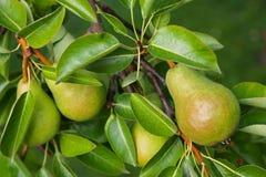 Päronträd med dess frukt under sommar Royaltyfri Fotografi