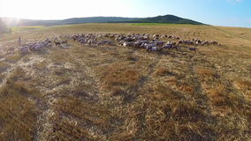 Propósito aéreo de pastar animales en tierra fértil almacen de metraje de vídeo