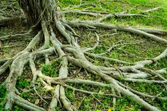 Prop root of banyan tree and green grass. With natural sunlight stock image