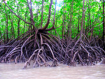 Prop Roots. Mangrove rainforest trees require a different kind of support system. Mangroves grow in wet, muddy soil at the water's edge which can be subject to Stock Photo