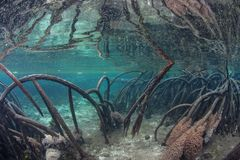 Prop Roots in Blue Water Mangrove Forest royalty free stock photo