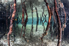 Prop Roots in Mangrove Forest Stock Photography