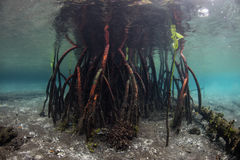 Prop Roots of Raja Ampat Mangrove Tree Royalty Free Stock Photography