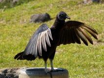 Propagação americana das asas do abutre preto Fotos de Stock Royalty Free