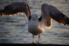 Propagação da gaivota Foto de Stock