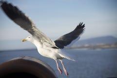 Propagação das asas da gaivota em voo fotos de stock royalty free