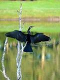 Propagação de secagem das asas do Anhinga aberta Foto de Stock